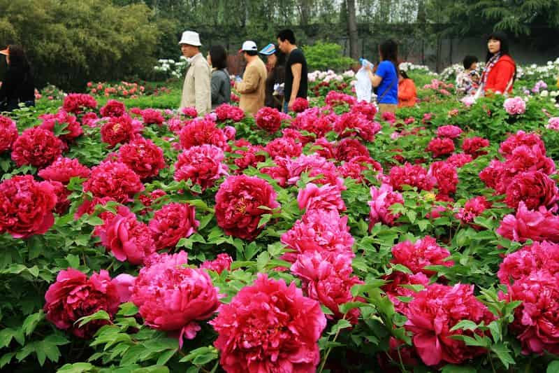 36th Chinese Luoyang Peony Culture Festival